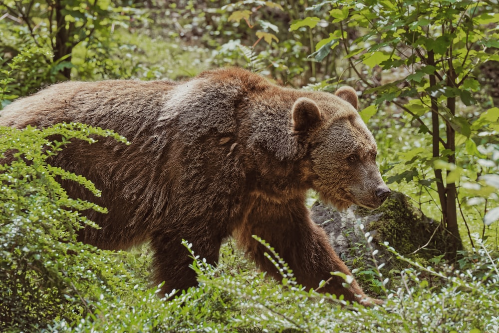 brown bear walking between trees