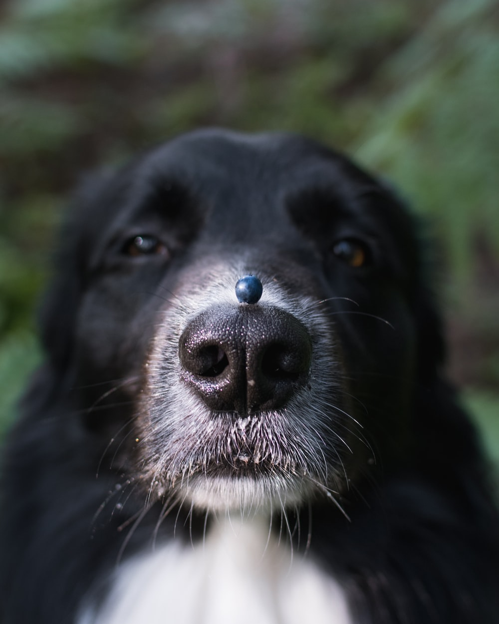 blue berry on dog's nose