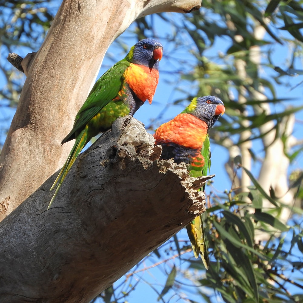 two orange and green parrots