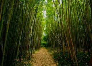 dirt pathway between bamboo trees