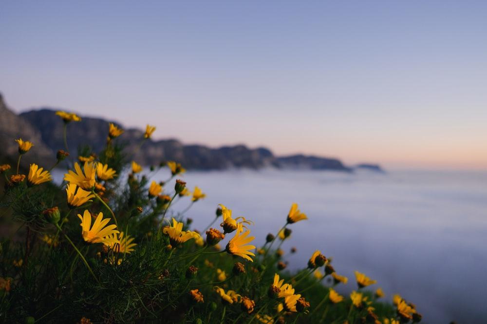 field of yellow Daisy flowers