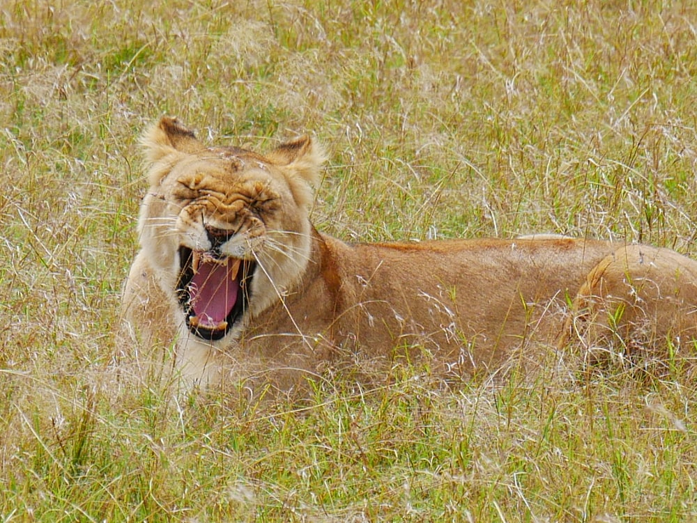 brown lioness during daytime