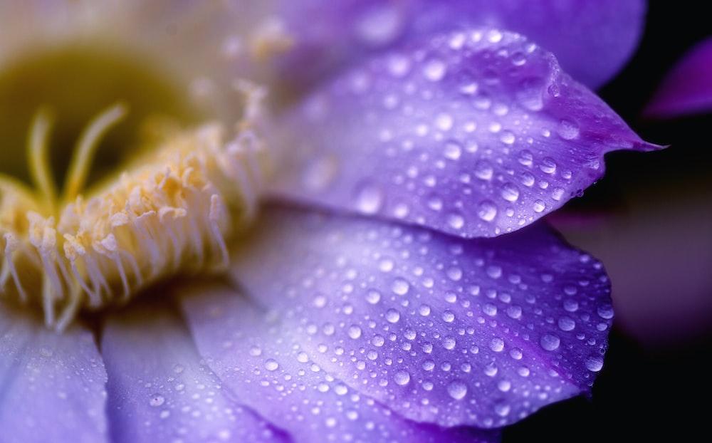 water drops in purple chrysanthemum flower