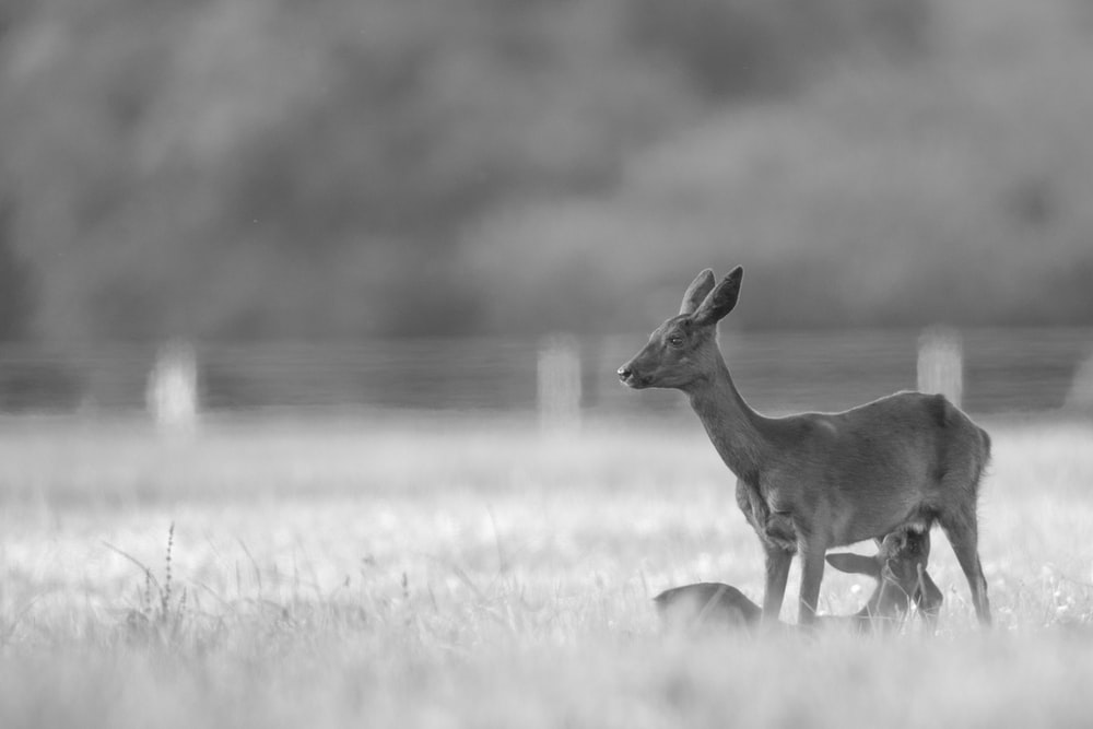 grayscale photography of deer on grass field