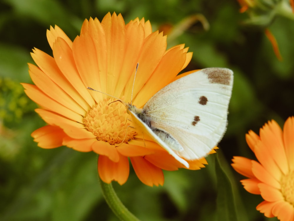 white and brown butterfly on orange daisy flower