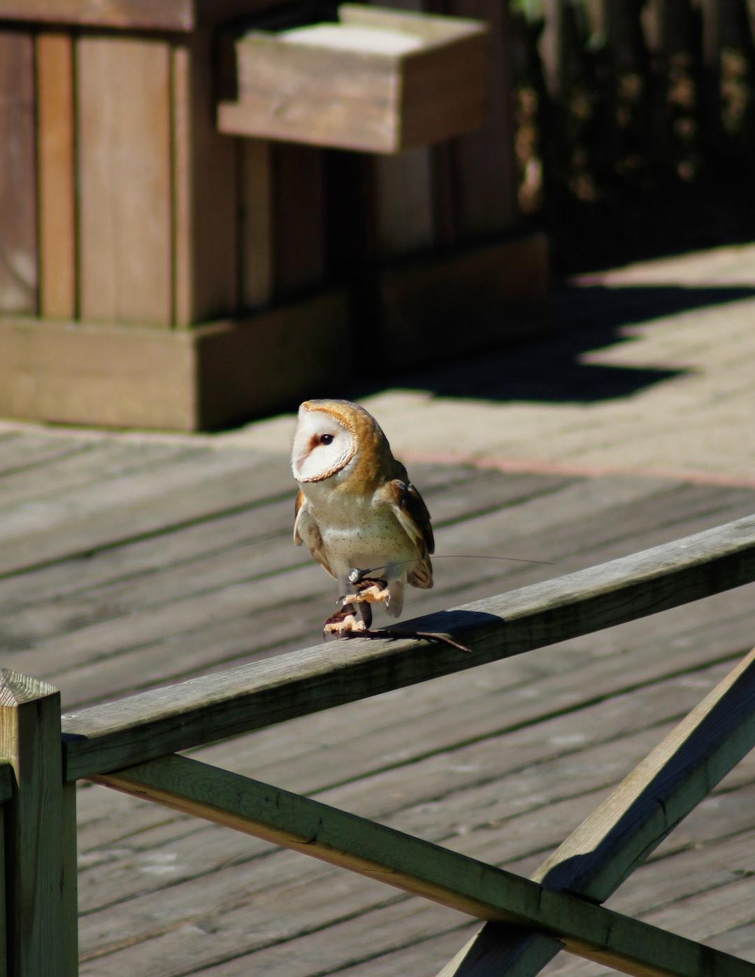 A Little Barn Owl