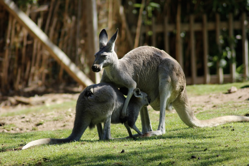 two gray donkey on green field