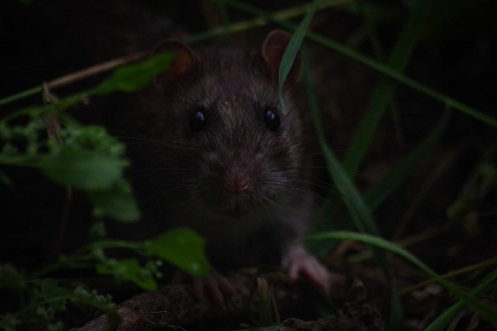 Крыса в траве