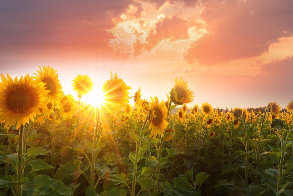 blooming yellow sunflower field