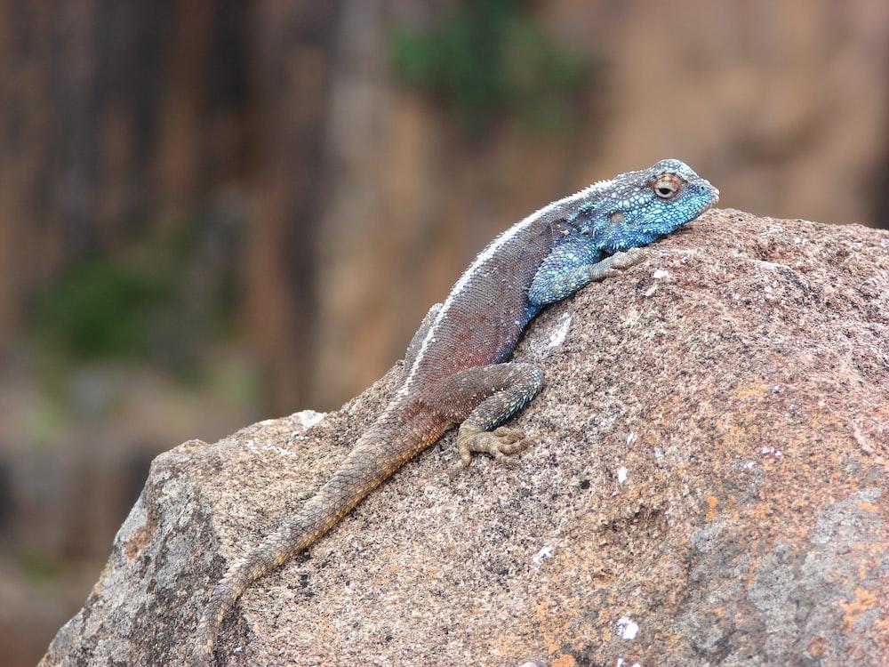 blue chameleon on rock