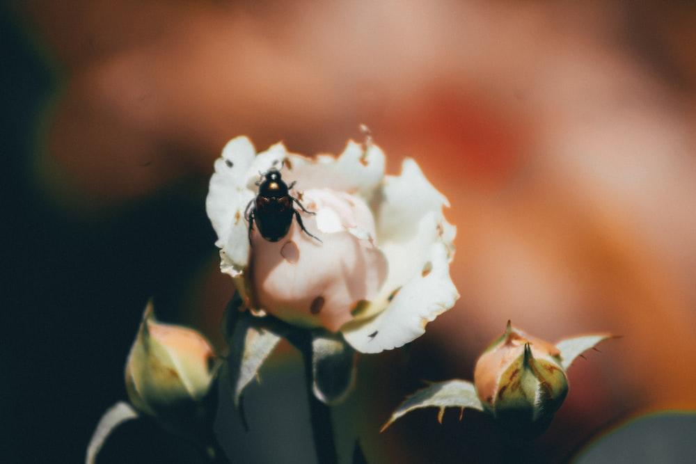 beetle on white rose