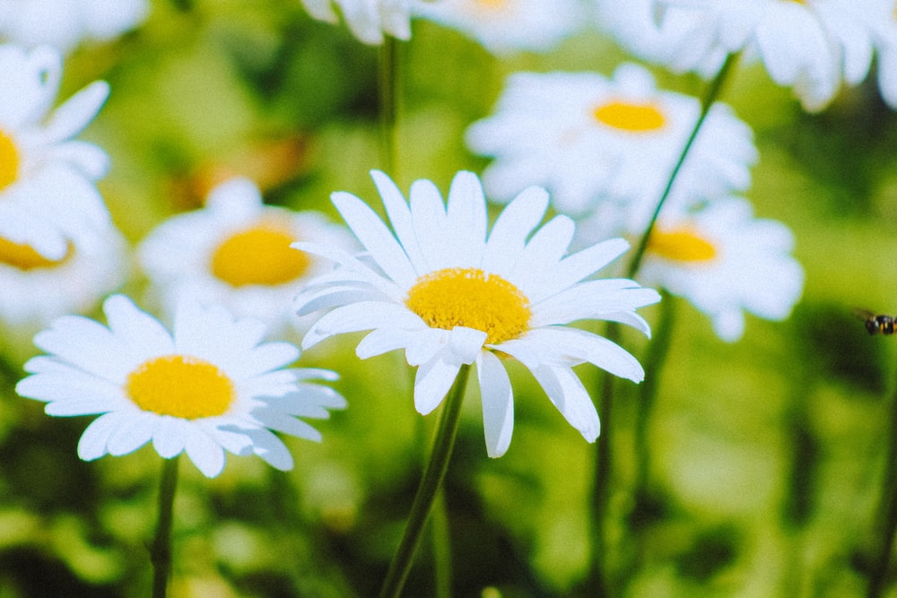 selective focus photography of white daisies