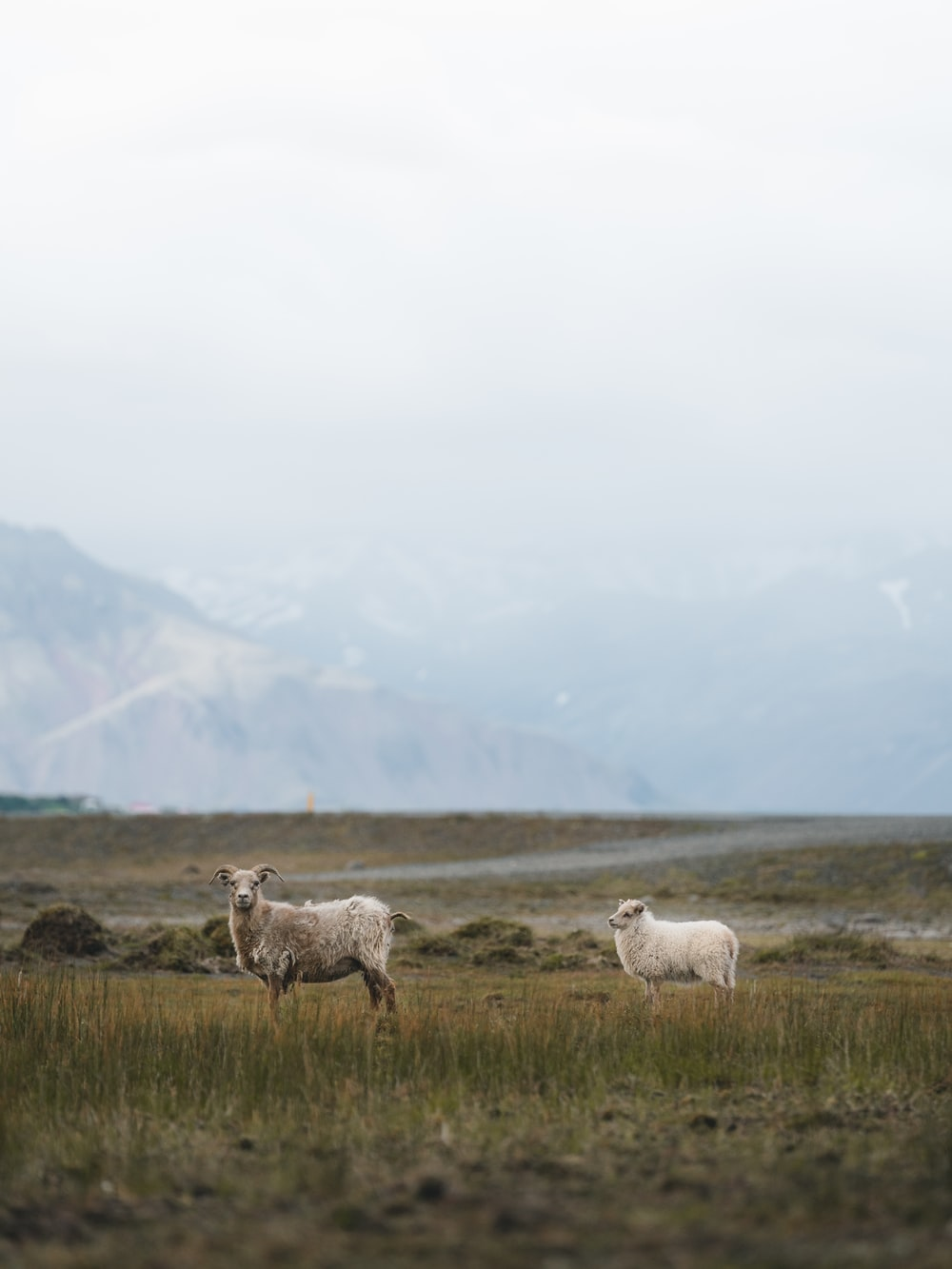 two white and brown sheeps
