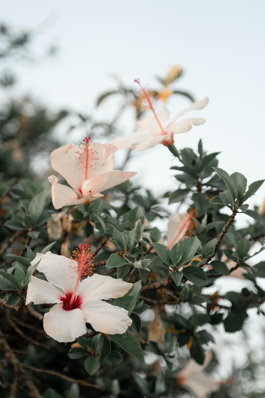 three white hibiscus flowers