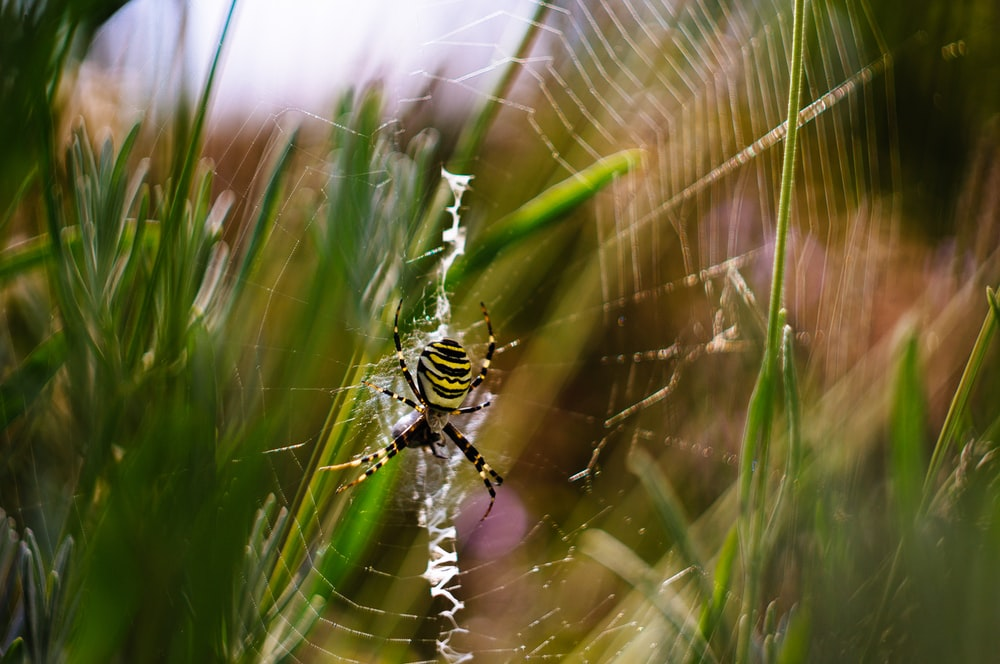banded argiope spider on web