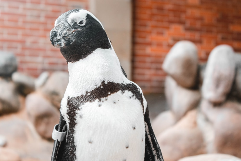 white and black penguin in front of brick wall