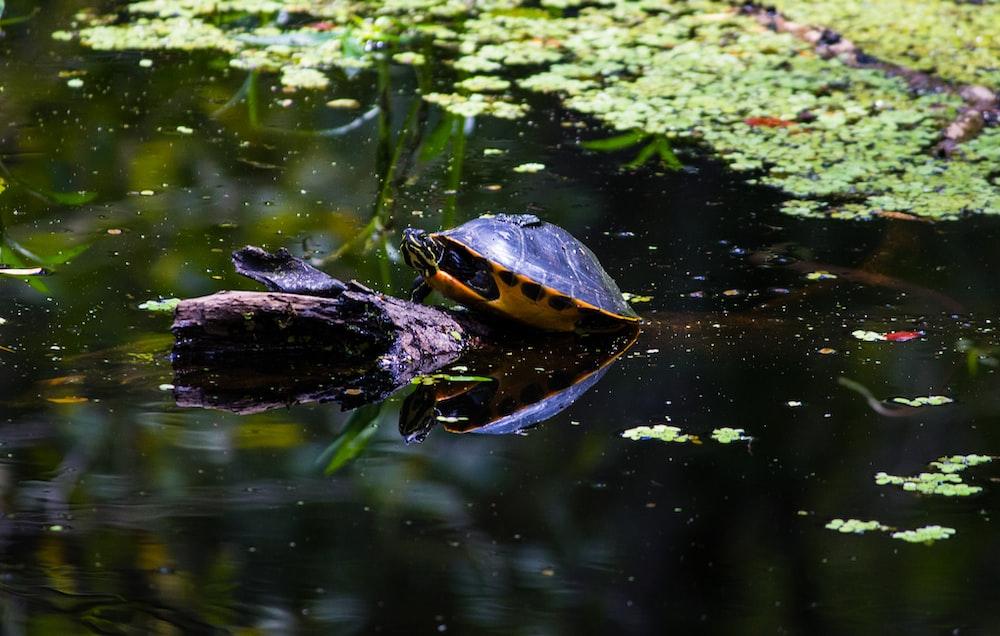 black turtle in lake