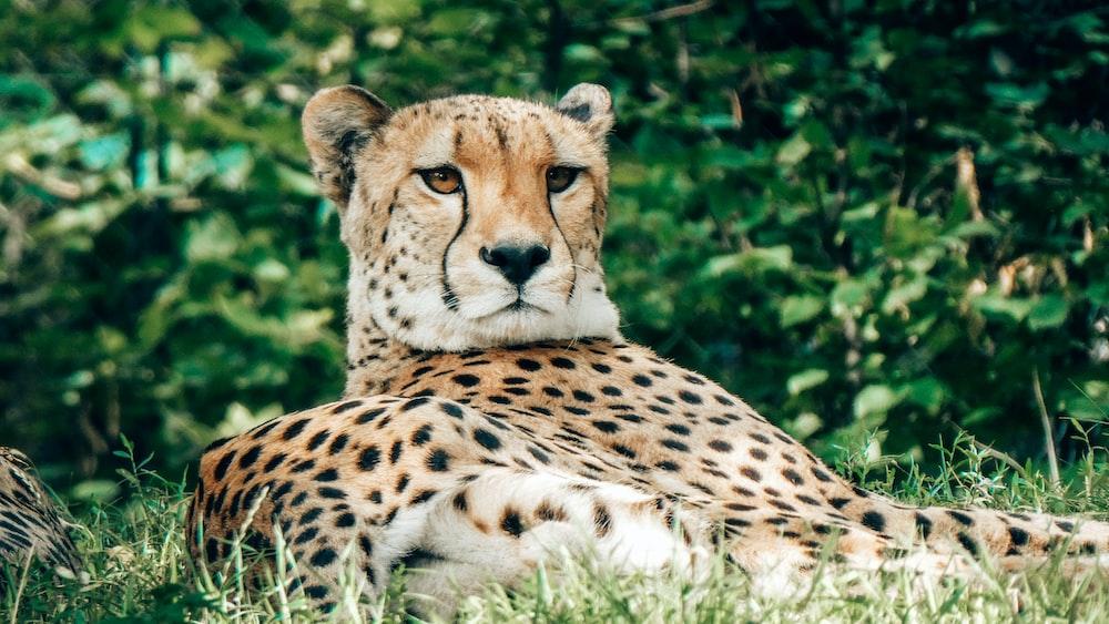 cheetah lies near bush
