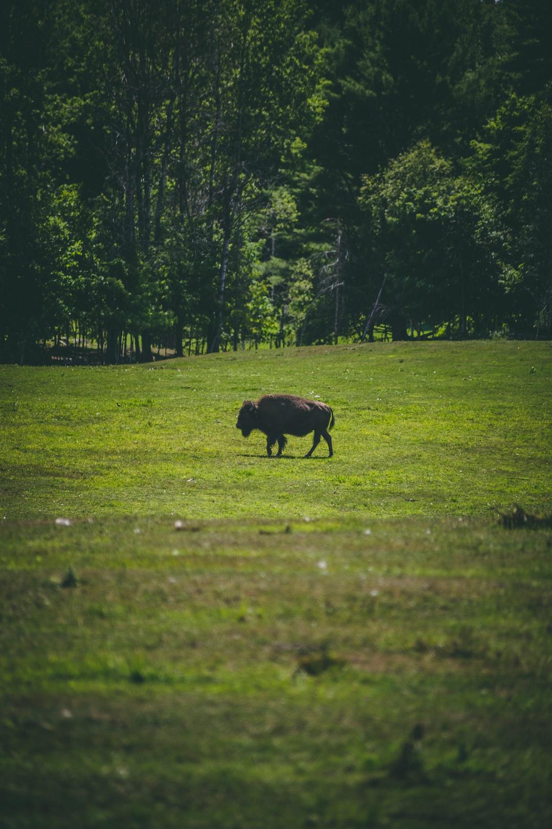 Buffalo Bison roaming through a plain