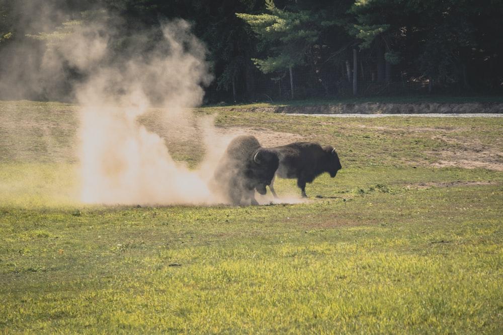 bison fighting during daytime