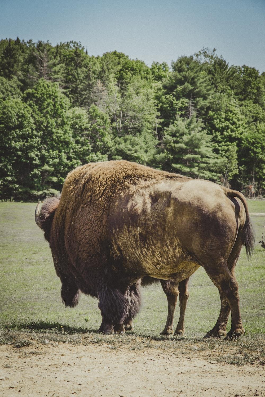 adult bison on grass field