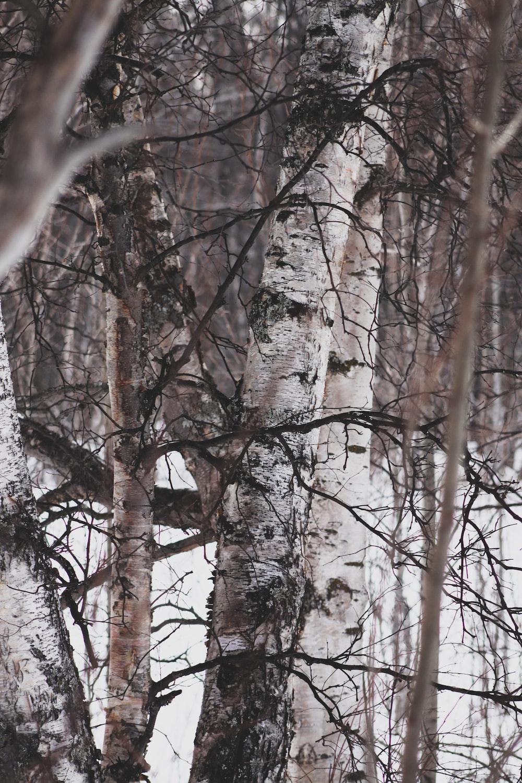 bareless tree