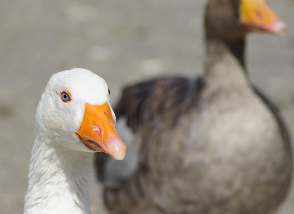 white and grey ducks