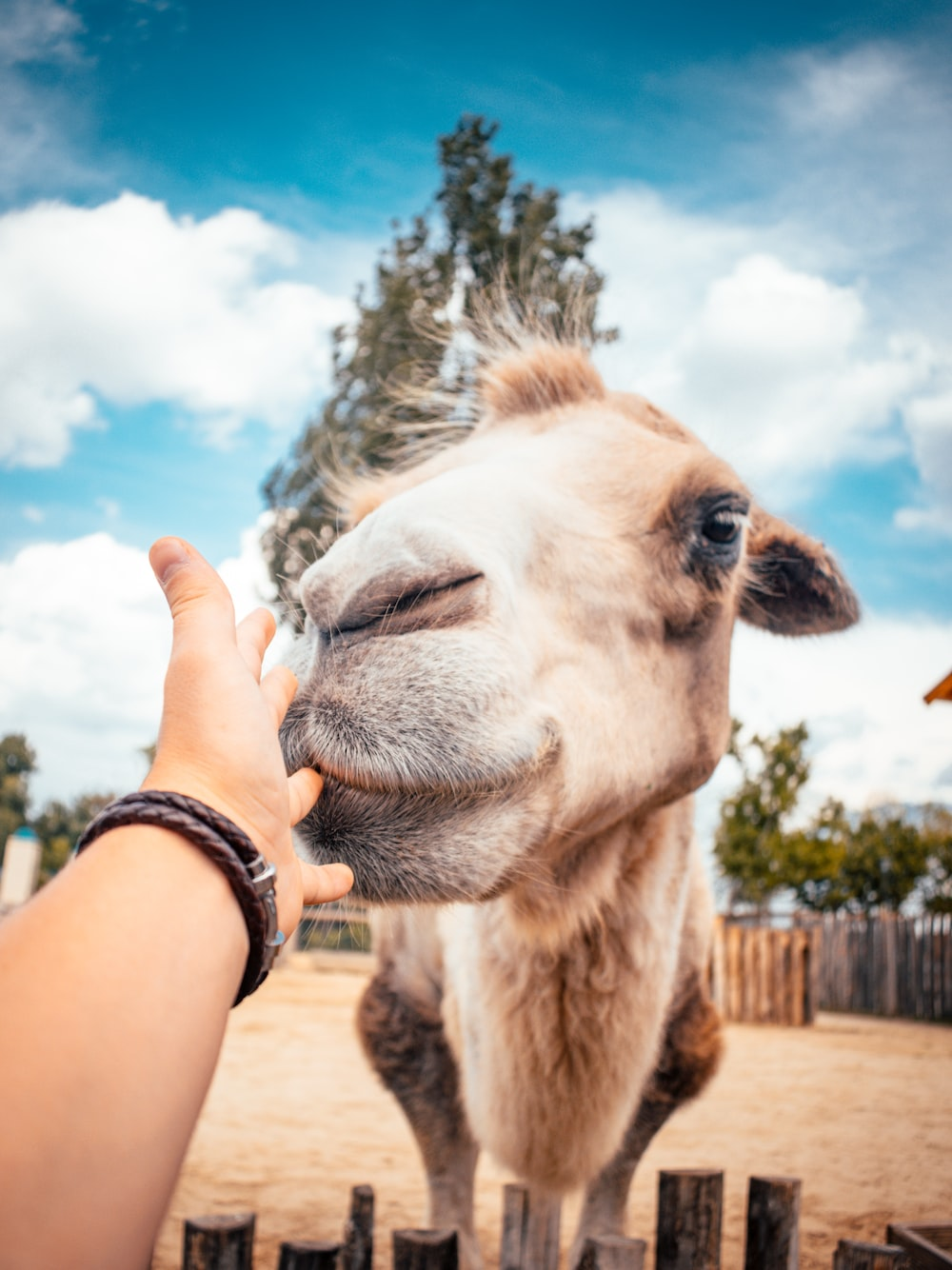 person holding camel