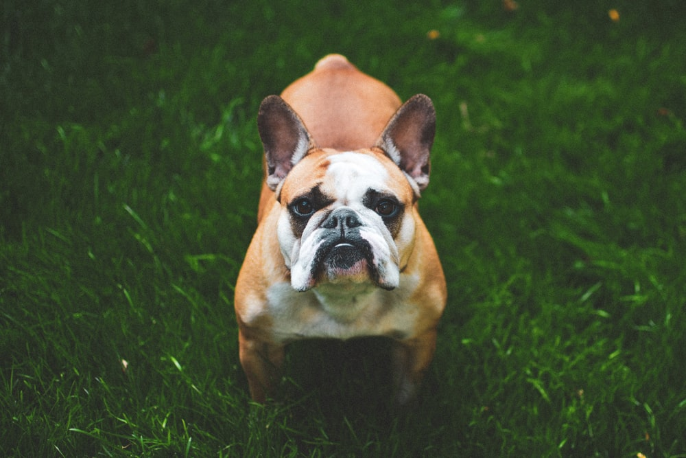 brown and white French bulldog