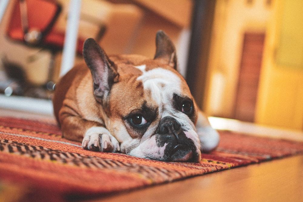 dog lies on area rug