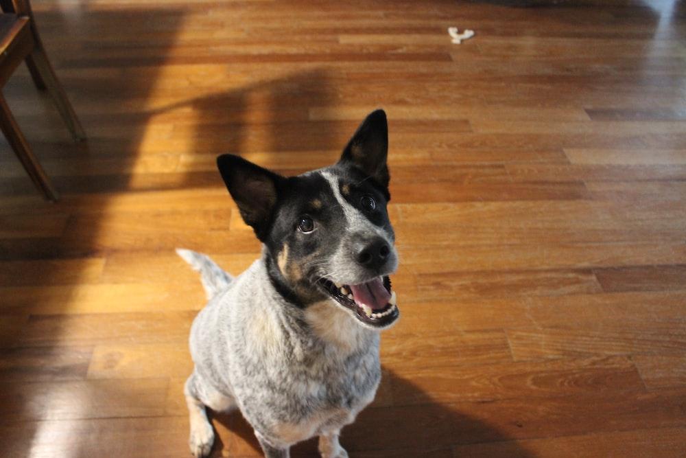 short-coated white and black dog