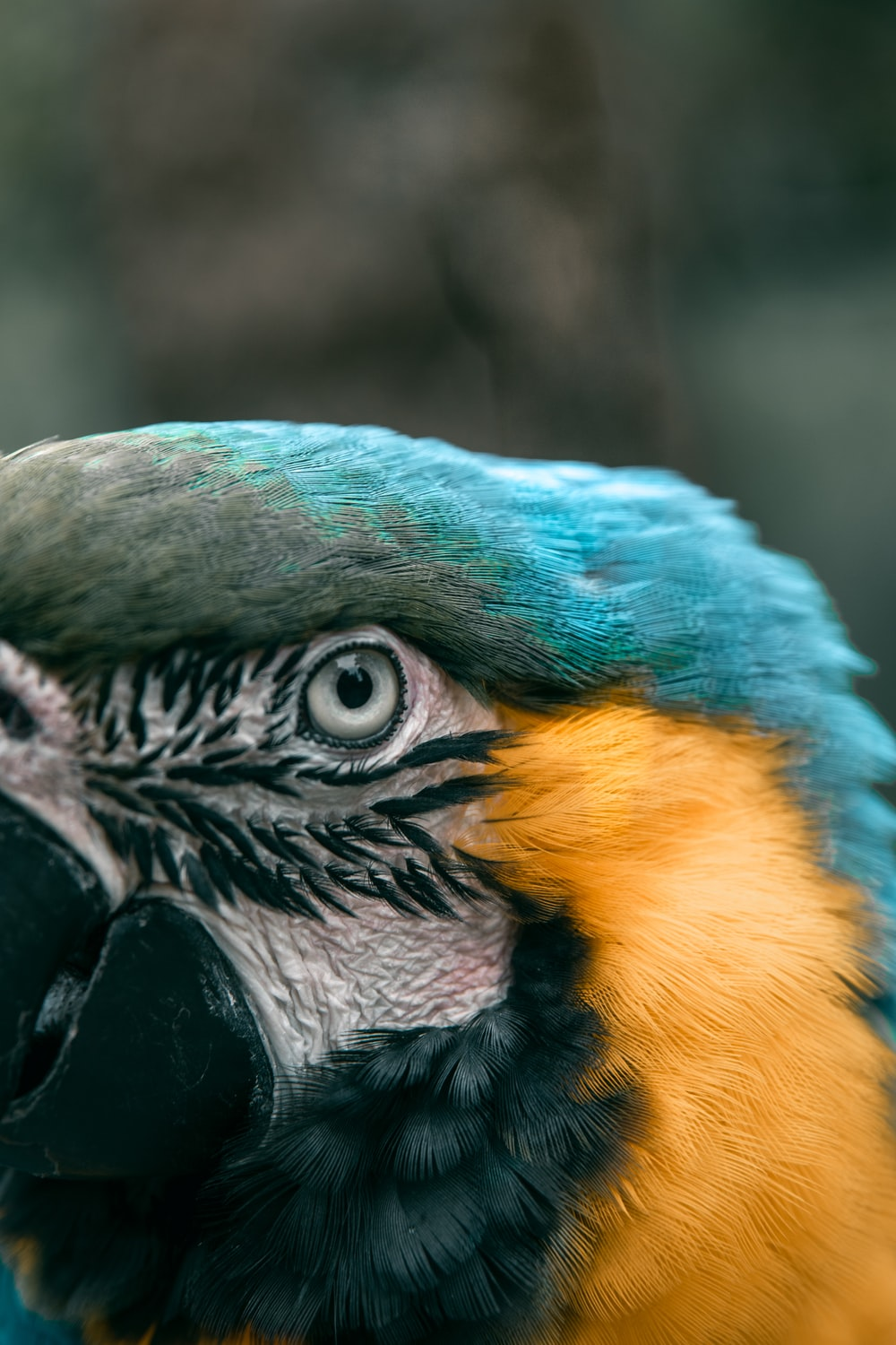 blue, black, and yellow parrot macro photography