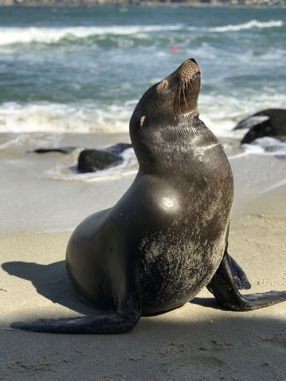 black seal lion in seashore