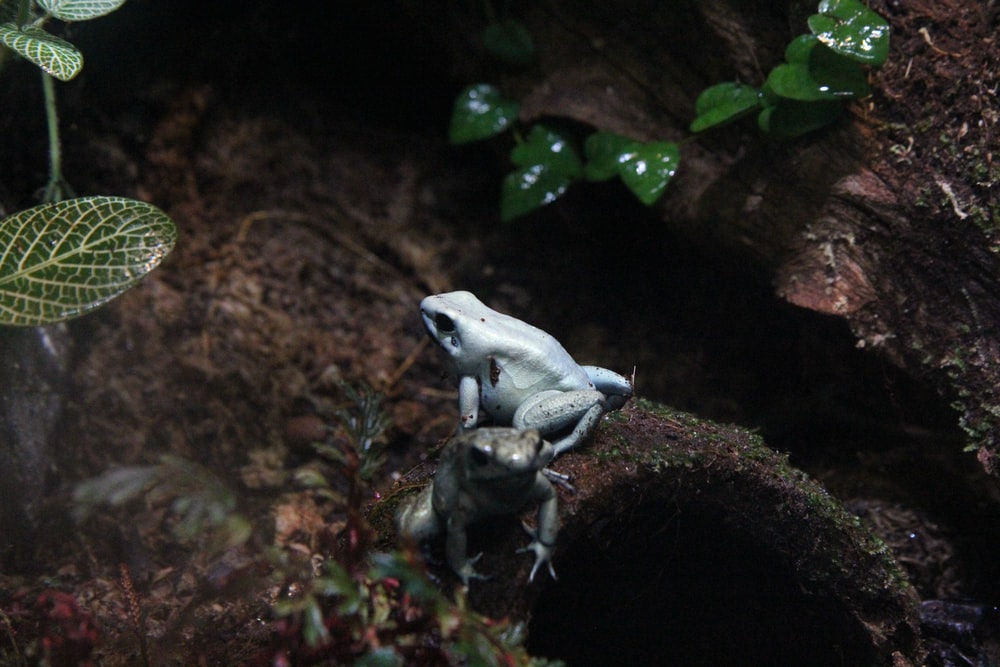 two gray frogs on rock