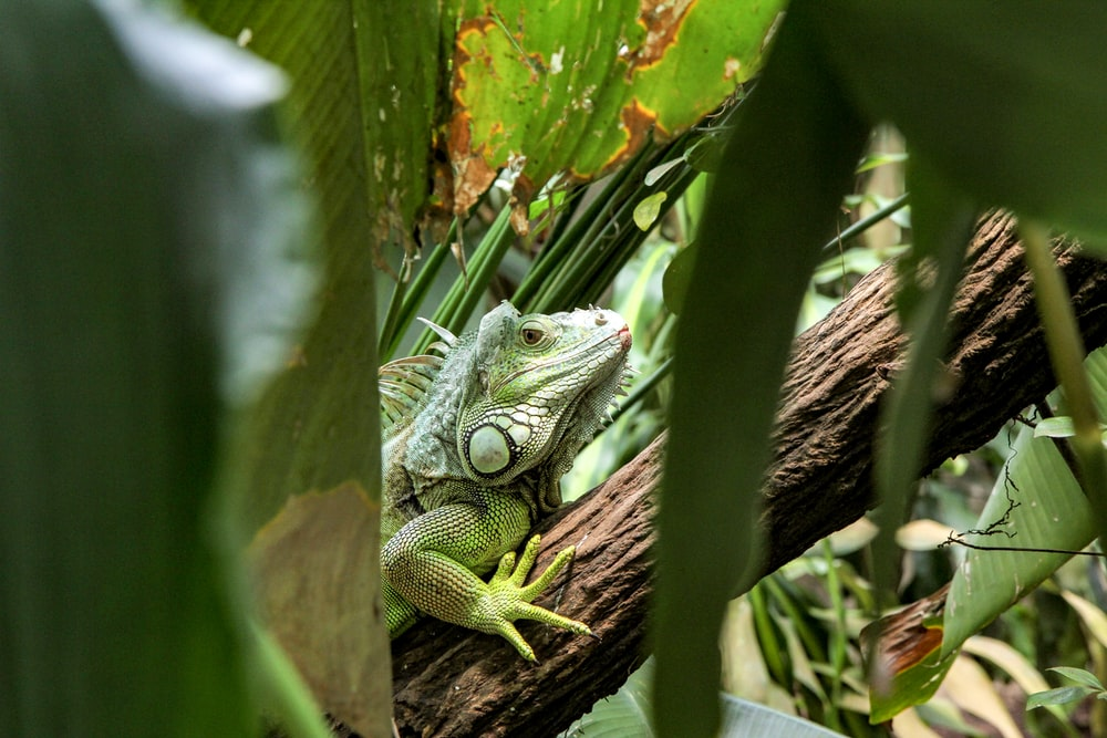 chameleon on tree branch