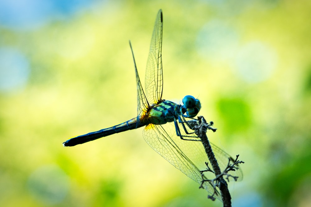 blue and green dragonfly macro photography