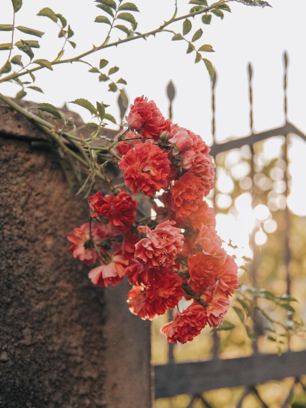 blooming red flowers near metal gate