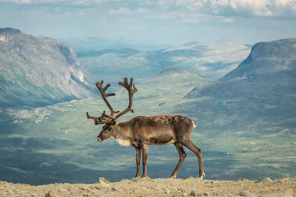 brown moose on gray field
