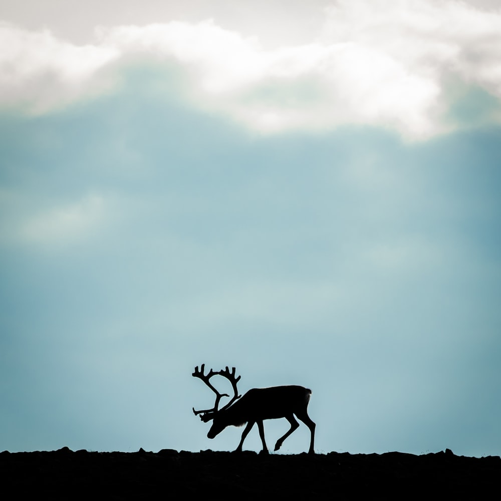 silhouette photo of moose