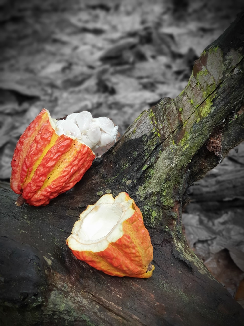 red and white Theobroma cacao