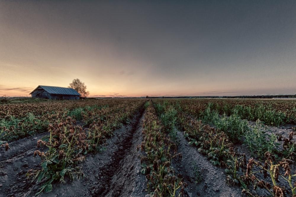 wilting plants on farm field under grey cloudy sky