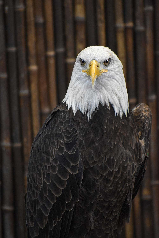 Download Bald Eagle Wallpaper  Images