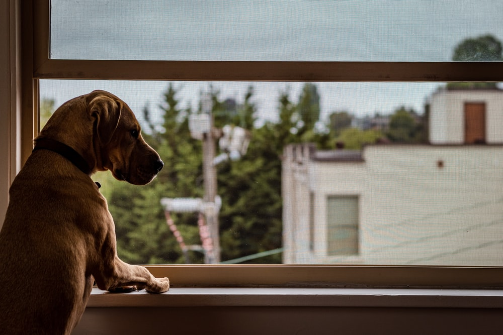 brown dog looking in the window
