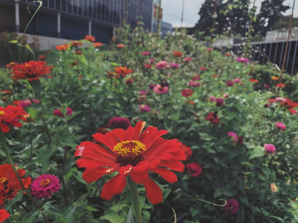red petaled flower field