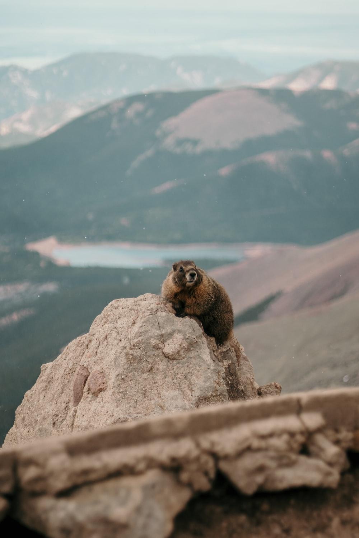 brown beaver on brown rock