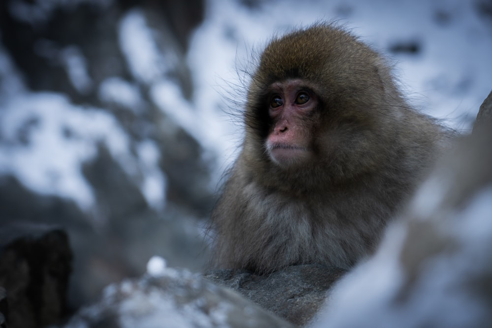 selective focus photography of gray monkey looking at right side