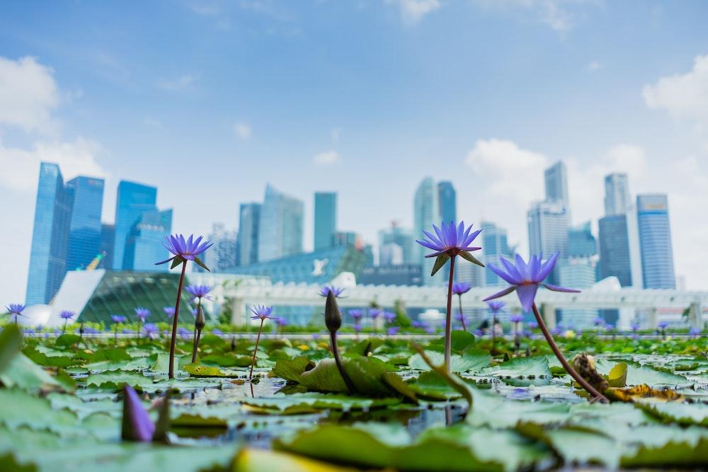 blue lotus flowers in bloom