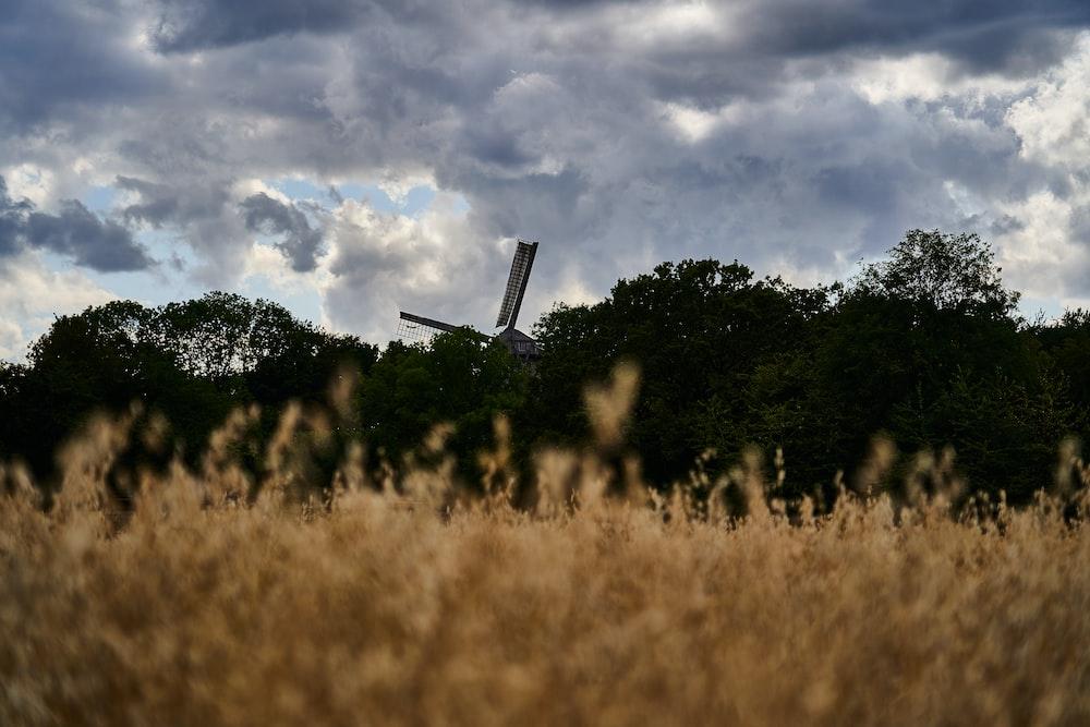 wheat field near trees