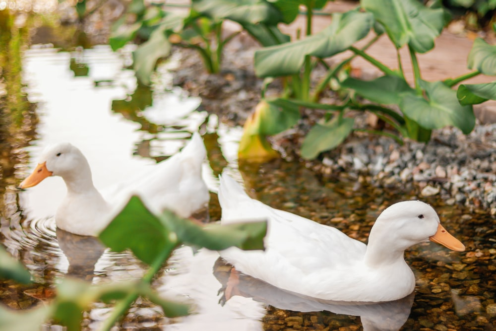 two white ducks in body of water
