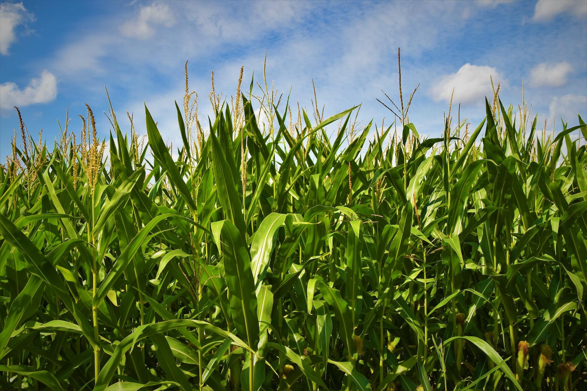 Good News for Wildlife and Habitat: Non-GMO Corn Hybrids Smash GMO Varieties in Illinois Trials